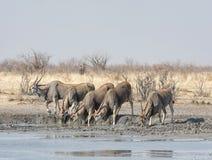 Eland antilop Royaltyfria Foton