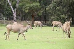 Eland antilop Arkivfoton