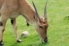 Eland Antilope Lizenzfreie Stockbilder