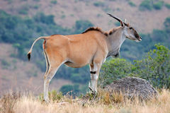 Eland Antilope Stockfotos