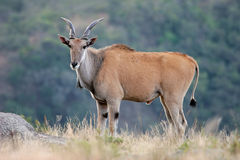 Eland Antilope Lizenzfreies Stockbild