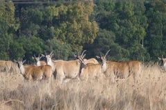 Eland Antilope Lizenzfreie Stockfotografie