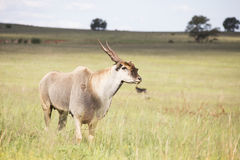 Eland Antilope Lizenzfreies Stockfoto