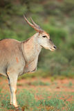 Eland Antilope Stockfoto