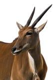 Eland Antilope alcina weißer Hintergrund getrennt Stockbild
