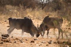 Eland Antilopen Lizenzfreie Stockfotos