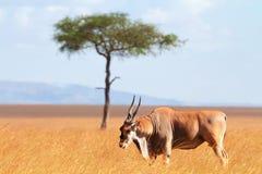 Eland antylopa, Masai Mara Zdjęcia Stock