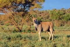 Eland antylopa w naturalnym siedlisku Zdjęcie Stock