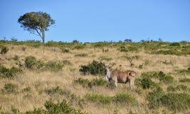Eland Bull Стоковая Фотография
