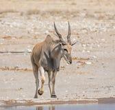 Eland Bull Стоковые Изображения
