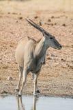 Eland Bull Стоковое Фото