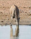 Eland Bull Стоковые Фотографии RF