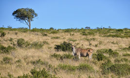Eland Bull Стоковое фото RF