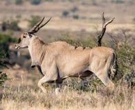 Eland Bull Стоковое Изображение RF