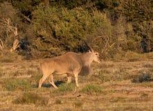 Eland Bull Стоковые Изображения RF