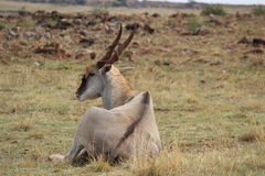 Eland bull laying on ground Royalty Free Stock Photo