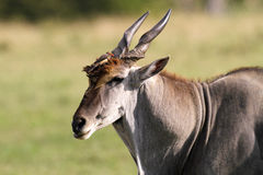 Eland Bull and oxpecker Royalty Free Stock Photography