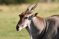 Eland Bull and oxpecker. On the plains of the Masai Mara, Kenya Royalty Free Stock Photography