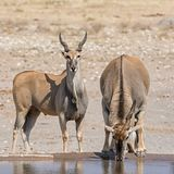 Eland Bulls. At a watering hole in Namibian savanna Royalty Free Stock Photos