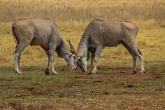 Eland bulls locking horns Stock Image
