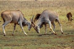 Eland bulls locking horns Royalty Free Stock Image