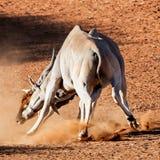 Eland Bulls. A pair of Eland bulls fighting in Southern African savanna stock photos