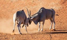 Eland Bulls. A pair of Eland bulls fighting in Southern African savanna stock photo