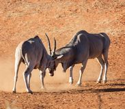 Eland Bulls. A pair of Eland bulls fighting in Southern African savanna stock photography