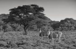 Eland byki Zdjęcie Royalty Free