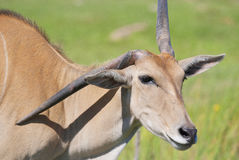 Eland. (Cape or Livingstone's) (Tragelaphus oryx). Largest of all the world's antelope Royalty Free Stock Photography