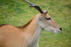 Eland. (Cape or Livingstone's) (Tragelaphus oryx). Largest of all the world's antelope Stock Photos