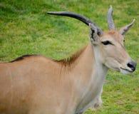 Eland. (Cape or Livingstone's) (Tragelaphus oryx). Largest of all the world's antelope Royalty Free Stock Photo