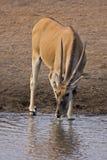 Eland cow at waterhole. Taurotragus oryx royalty free stock photography