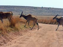 Eland crossing a dirt road royalty free stock photos