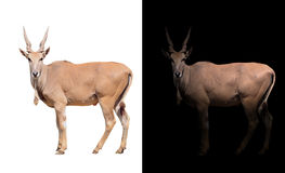 Eland in dark and white background. Eland standing in the dark with spotlight and eland isolated Stock Images