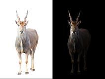 Eland in dark and white background. Eland standing in the dark with spotlight and eland isolated Royalty Free Stock Image