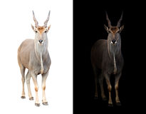 Eland in dark and white background. Eland standing in the dark with spotlight and eland isolated Stock Photo