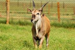 Eland dell'antilope Fotografia Stock Libera da Diritti