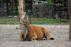 Eland dell'antilope Fotografie Stock