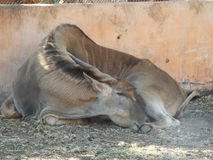 Eland in Dream village, Morocco. Eland sitting in Dream village, Morocco Royalty Free Stock Photography