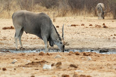 Eland drinking from waterhole Stock Images