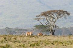 Eland et acacia, Nakuru, Kenya. Photo stock