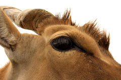 Eland Eye Stock Photo