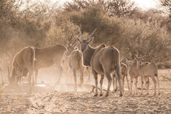 Eland family at waterhole. Eland group (Taurotragus oryx) of adults and calves at waterhole, Namibia royalty free stock photos