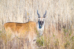 Eland in front of reed bed Royalty Free Stock Image