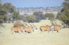 Eland. In a grass field, Northern Cape Province, South Africa Royalty Free Stock Image