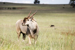Eland Royalty Free Stock Photo