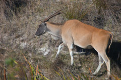 Eland grazing in the Bush of South Africa. The female Eland is on the slope. The largest antelope of Africa. Adult female Eland grazing in the Bush of South Royalty Free Stock Photography