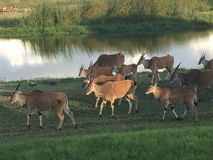 Eland Grazing in Mukuvusi Wooflands. Elands grazing just before sunset n Mukuvusi Woodlands, Harare Zimbabwe Royalty Free Stock Photos