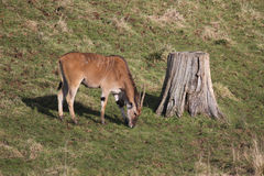 Eland grazing by stump Stock Images